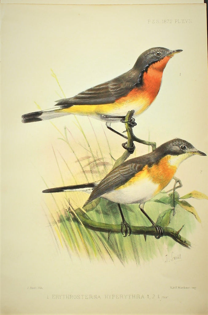 Lithograph of a Robin Flycatcher