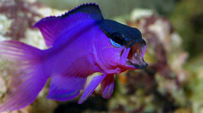 Buy saltwater basslets online live fish for sale vivid for Order fish online