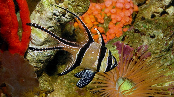 Buy saltwater nano fish online live fish for sale for Buy fish online