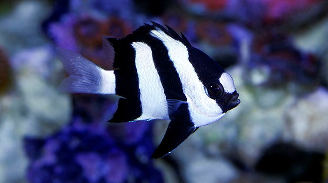 Buy Three Stripe Damsel Online Saltwater Fish Sale Vivid Aquariums