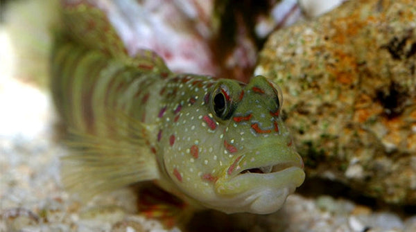 Buy pink spotted shrimp goby saltwater fish sale vivid for Where to buy saltwater fish