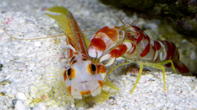 watchmen goby and pistol shrimp relationship counseling