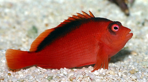 Buy saltwater hawkfish online live fish for sale vivid for Live fish for sale