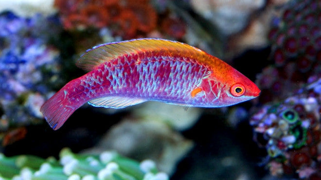 Buy tricolor fairy wrasse saltwater fish sale vivid for Where to buy saltwater fish
