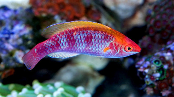 Buy saltwater wrasse online live fish for sale vivid for Order fish online