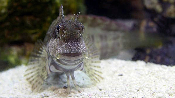 Buy lawnmower blenny online saltwater fish sale vivid for Where to buy saltwater fish