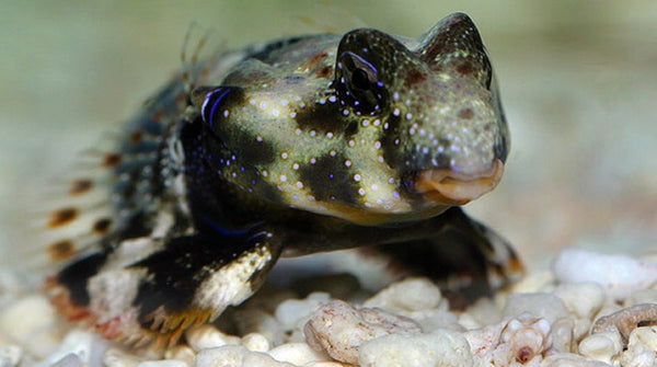Buy scooter blenny online saltwater fish sale vivid for Where to buy saltwater fish