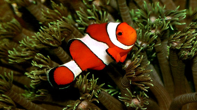 Buy Ocellaris Clownfish Online Saltwater Fish Food Vivid Aquariums