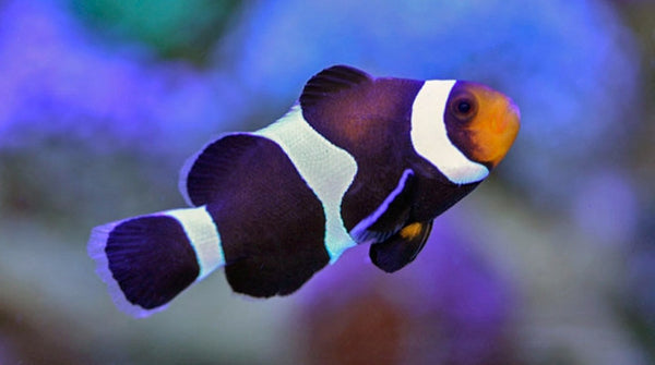 Buy black white ocellaris clownfish saltwater sale for Clown fish for sale