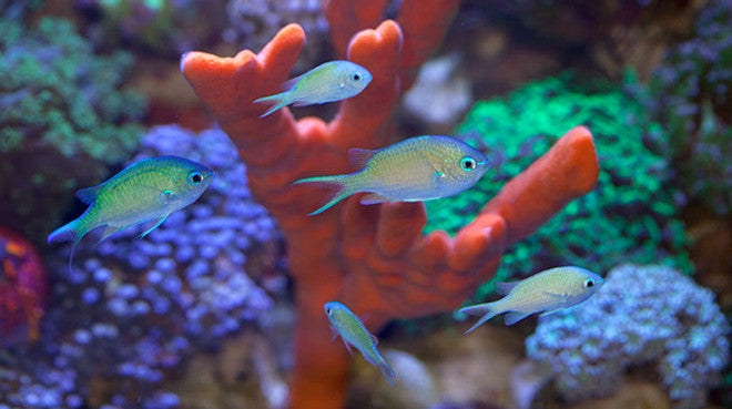 Buy Blue Green Chromis Online Saltwater Fish Sale Vivid Aquariums