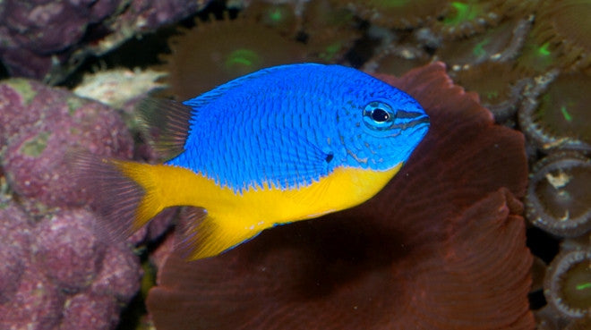 Buy Azure Damsel Online Saltwater Fish Sale Vivid Aquariums