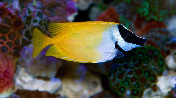 Buy foxface rabbitfish online saltwater fish sale for Fox face fish