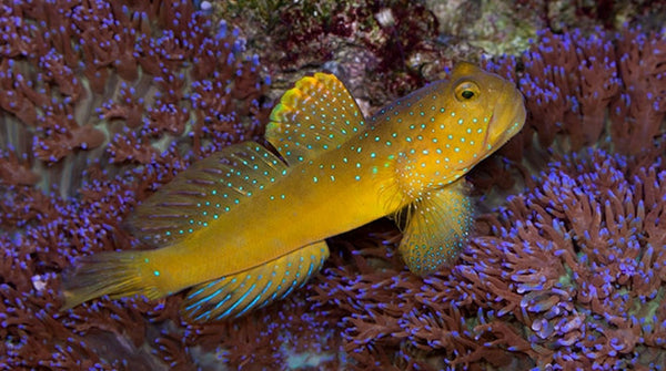 Buy yellow watchman goby online saltwater fish sale for Saltwater aquarium fish for sale