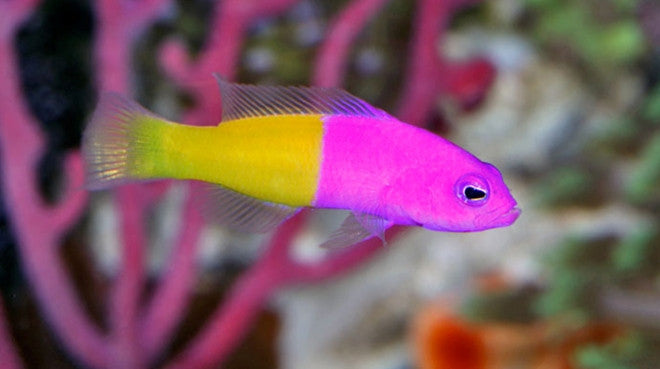 Fish aquarium buy online - Saltwater Fish For Sale Buy Saltwater Fish Online Vivid Aquariums