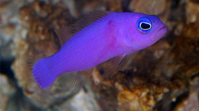 Buy Purple Pseudochromis Online Saltwater Fish Food Vivid Aquariums