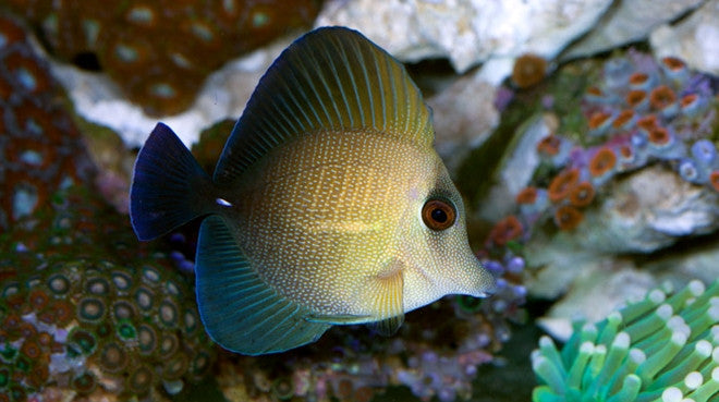 Buy Scopas Tang Online Saltwater Fish Sale Vivid Aquariums