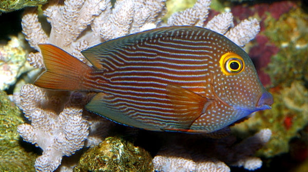 Buy yellow eye kole tang online saltwater fish sale for Where to buy saltwater fish