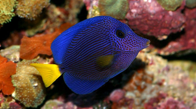 Buy saltwater tangs online live fish for sale vivid for Fish for sale online