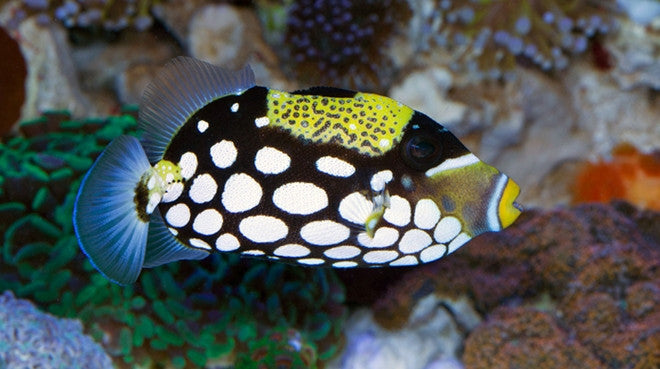 Saltwater fish for sale buy saltwater fish online for Reef fish for sale