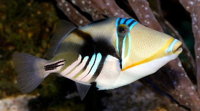 Buy humu picasso triggerfish saltwater fish sale vivid for Where to buy saltwater fish