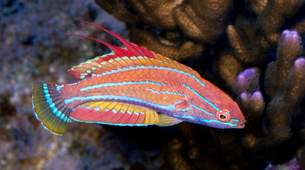 Saltwater fish for sale buy saltwater fish online for Saltwater aquarium fish for sale