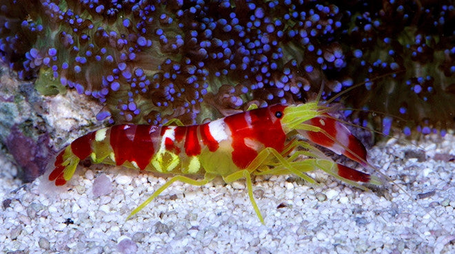 Sexy shrimp for sale