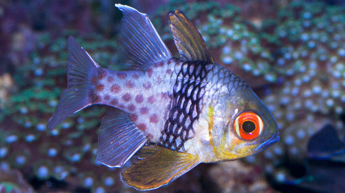 Buy Pajama Cardinal Online Saltwater Fish Food Vivid Aquariums