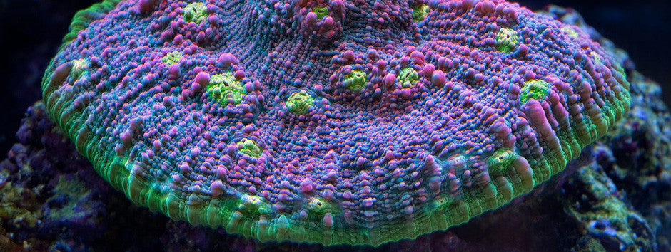 15% Off All Coral And Inverts CODE: HAPPYNEWYEAR