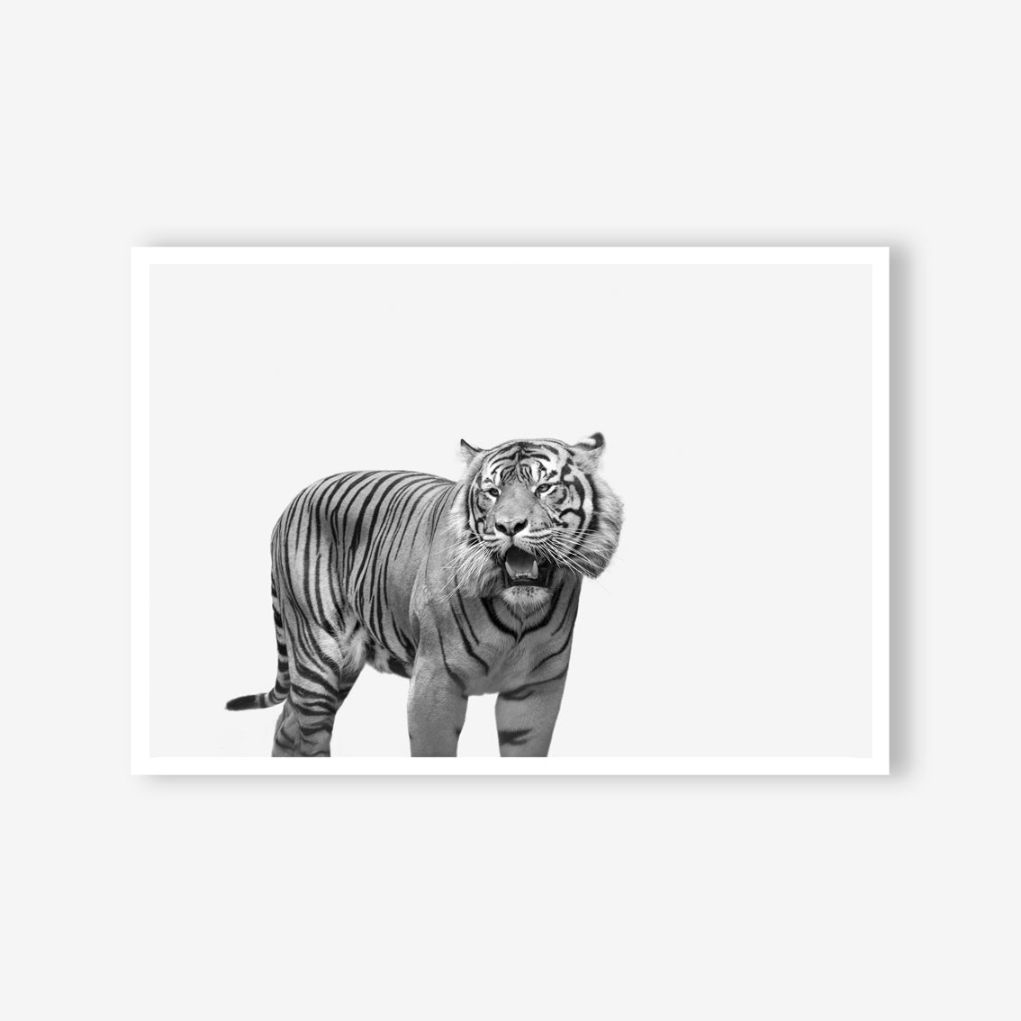 Tiger wall art print black and white animal photography