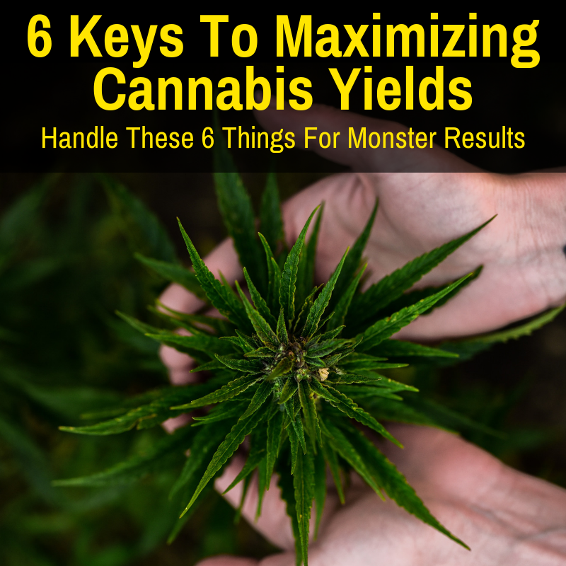 Maximize cannabis yields