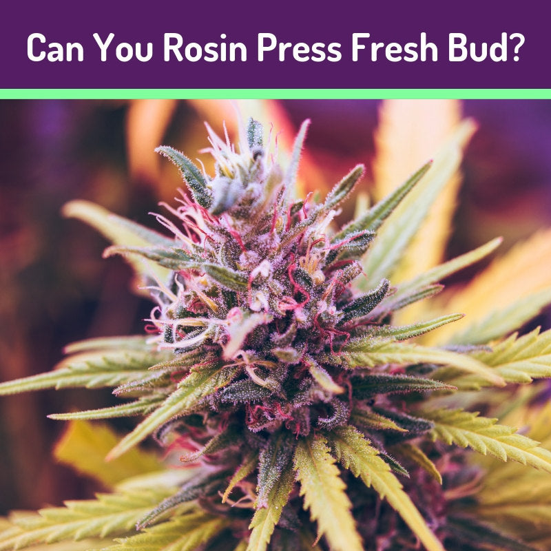 Rosin Pressing Fresh Bud