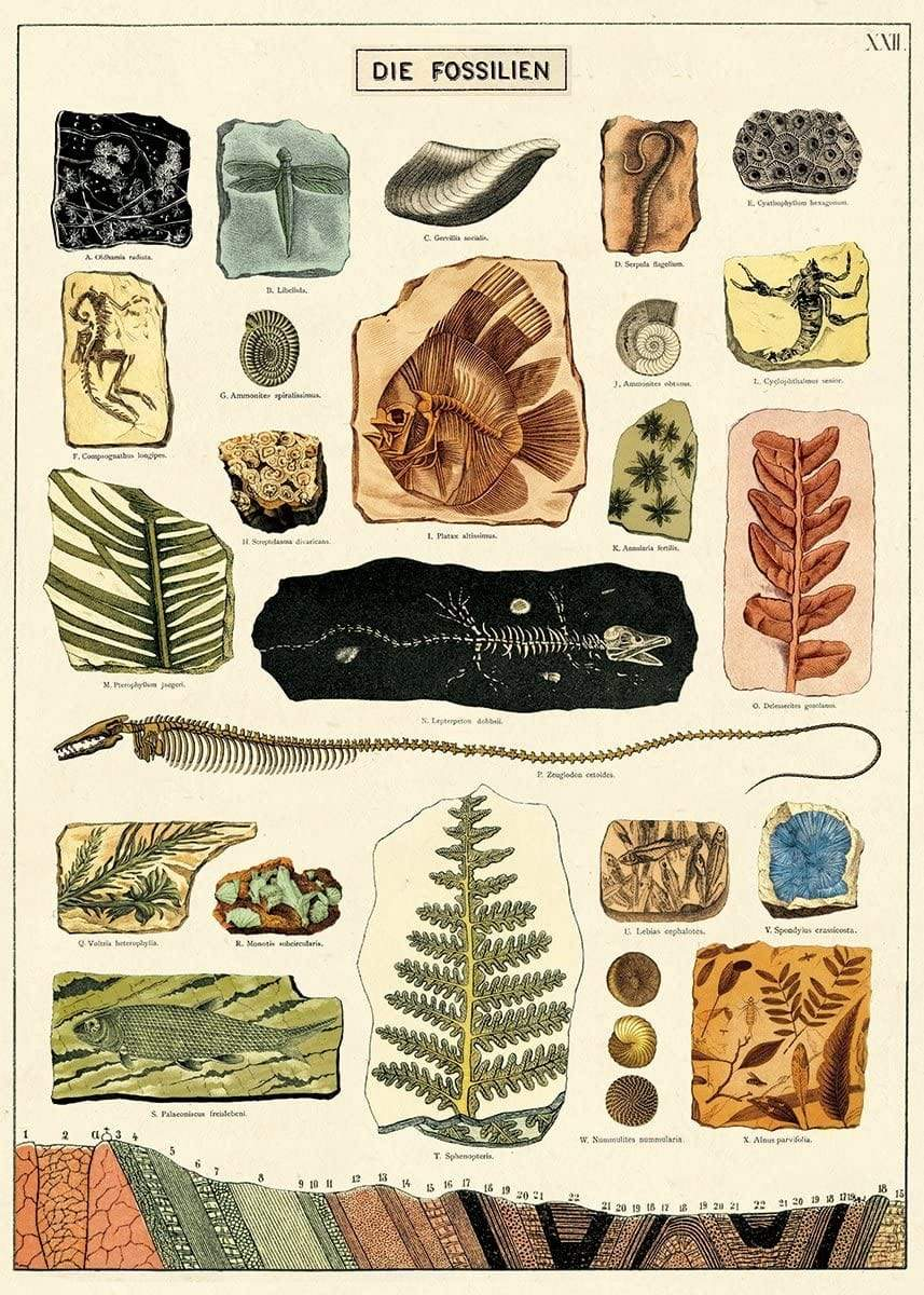 Fossils Art Paper Cavallini Papers Home Decor