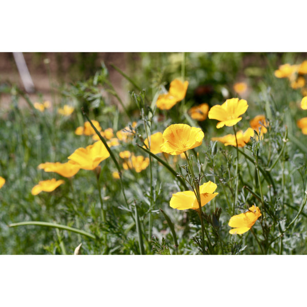 California Poppies Here I Come by Lisa Dirito - The Perfect Provenance
