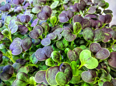 Purple Magic Pak Choi - 9 Crops, Non GMO Seeds