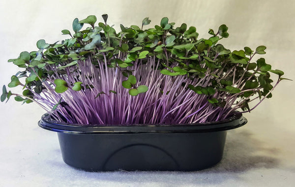 Heart Healthy Red Cabbage Microgreen Kit, Super Nutrition Taste & Look