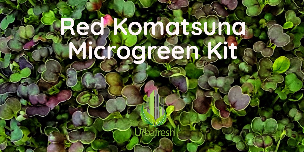 Red Komatsuna Microgreens  Asian Spinach Mustard