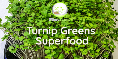 Turnip Green Microgreens are Superfood You Can Grow in Your Own Home