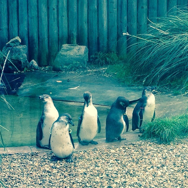 chester-zoo-penguins