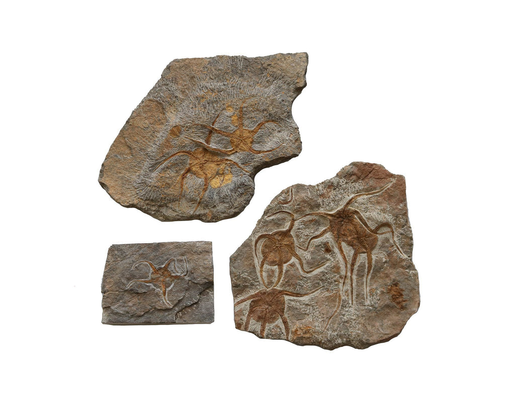 Trio of Starfish fossils - A Modern Grand Tour