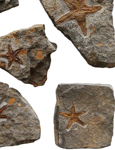 A Cluster of Starfish Fossils - A Modern Grand Tour