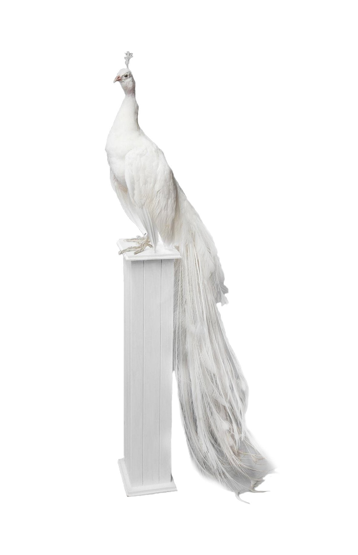 21st Century Taxidermy White Peacock mounted upon pedestal - A Modern Grand Tour