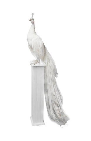 21st Century Taxidermy White Peacock mounted upon pedestal
