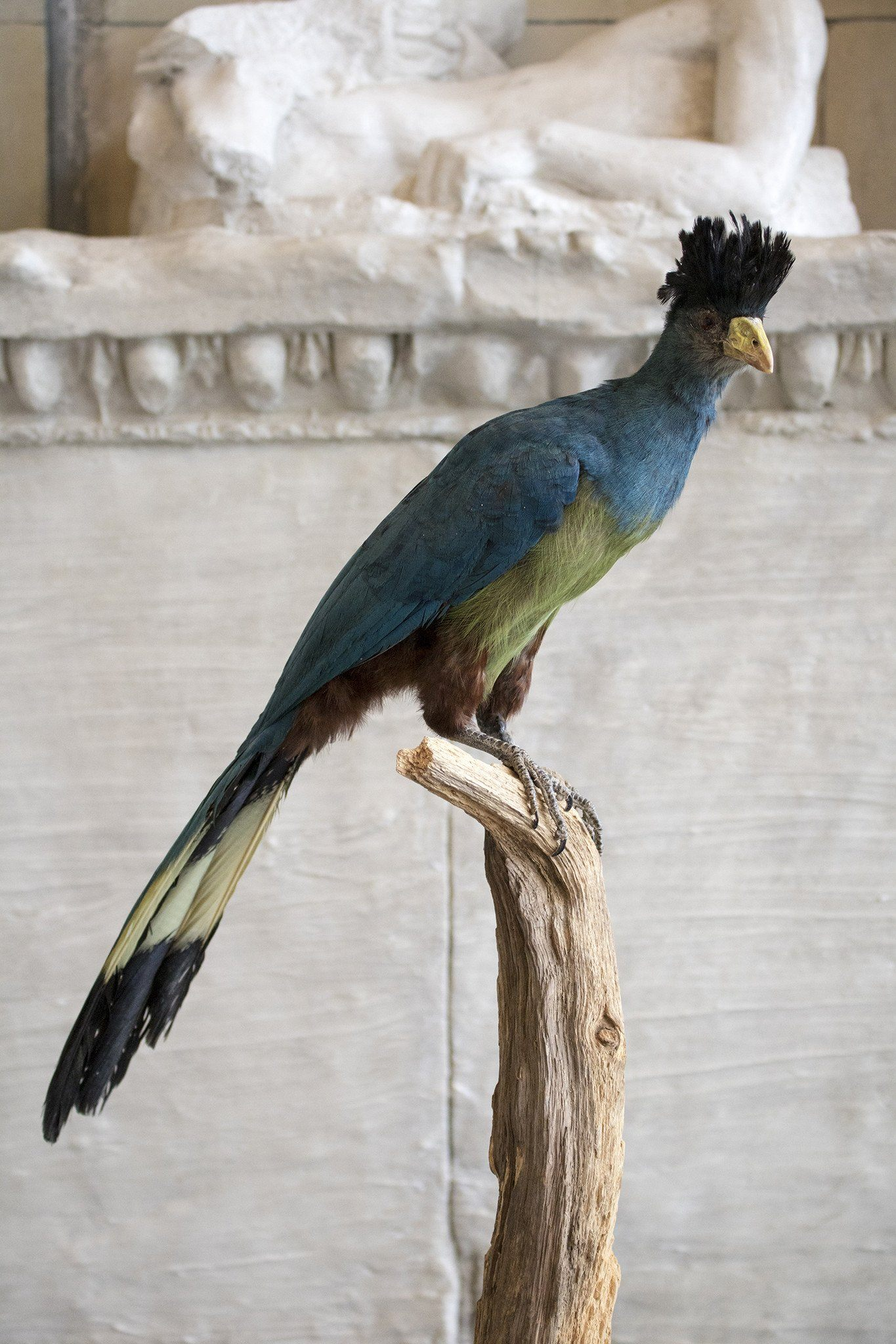 Taxidermy Blue Turaco