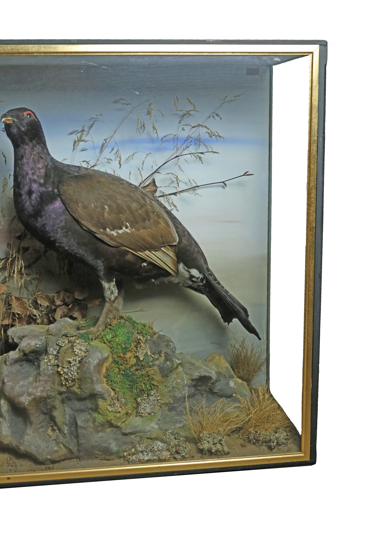 Taxidermy study of Capercaillie