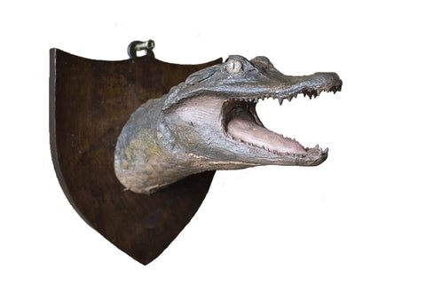 Taxidermy Crocodile Head Mount - A Modern Grand Tour
