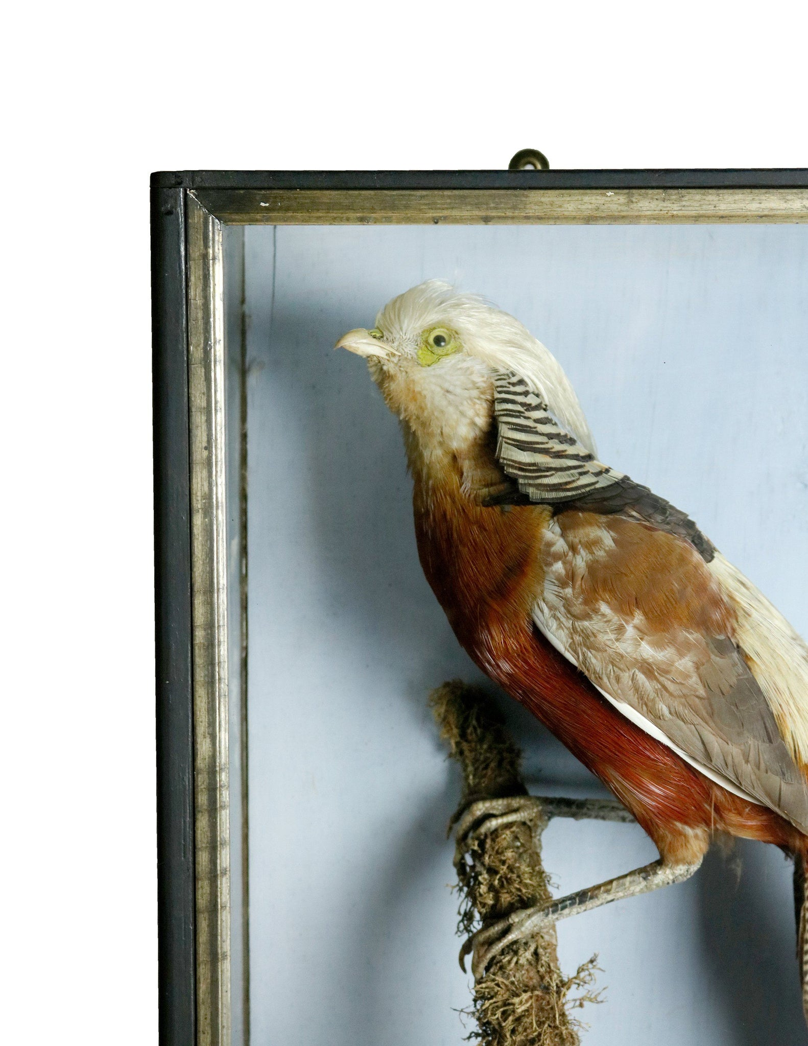Cased Taxidermy Golden Pheasant