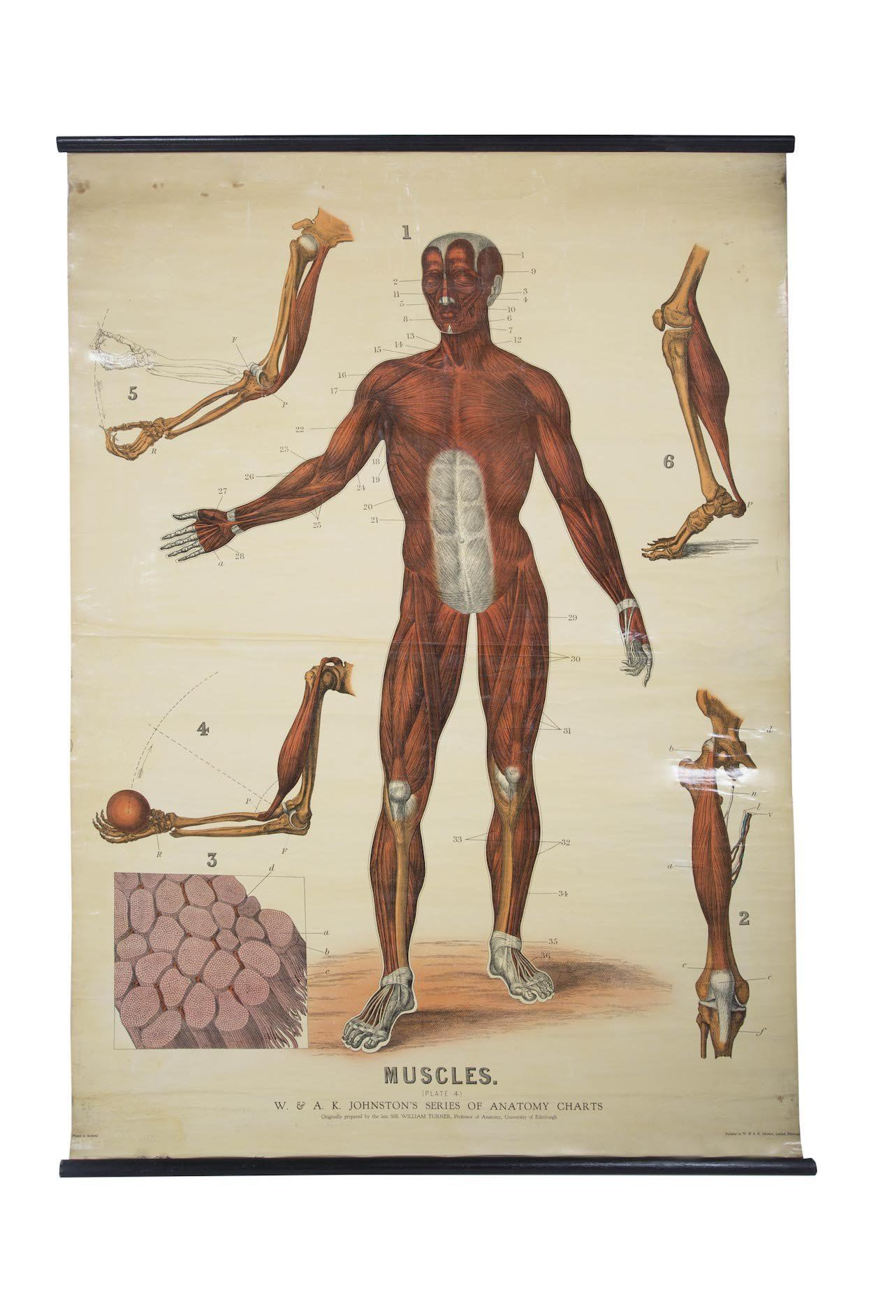 W Ak Johnstons Early 20th Century Anatomy Muscular Framework