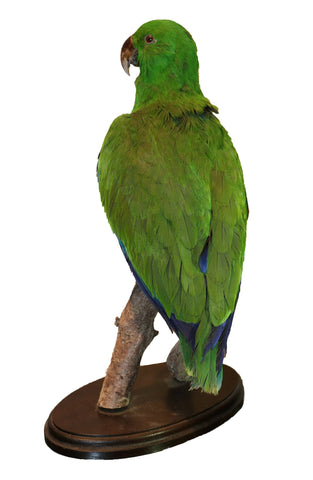 Taxidermy Eclectus Parrot - A Modern Grand Tour