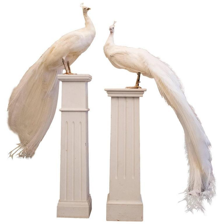 Vintage Taxidermy White Peacocks Mounted on Plinths, 20th Century