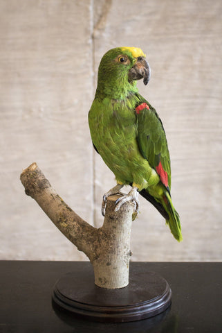 A Taxidermy Yellow Crowned Parrot